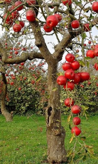 apple-tree2